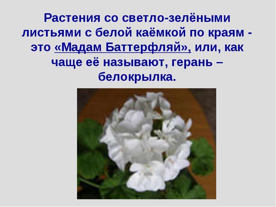 Растения со светло-зелёными листьями с белой каёмкой по краям - это «Мадам Ба...