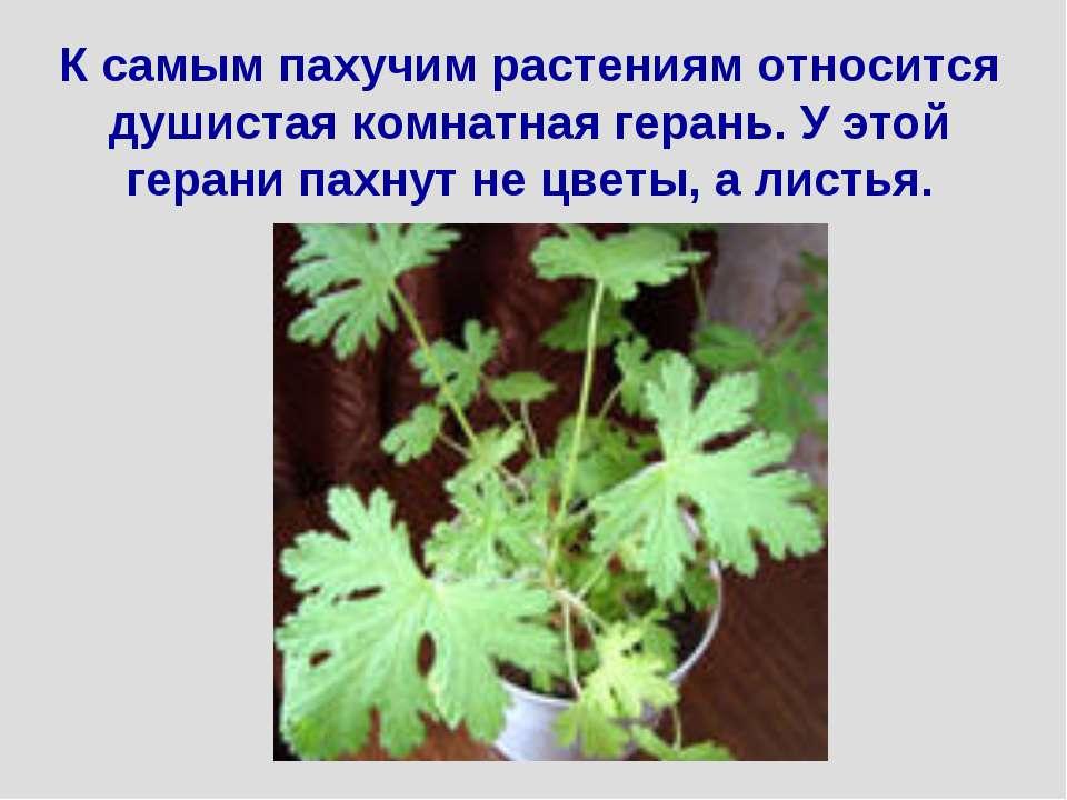 К самым пахучим растениям относится душистая комнатная герань. У этой герани ...
