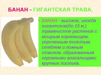 БАНАН - ГИГАНТСКАЯ ТРАВА. БАНАН - высокое, иногда гигантское(до 15 м.) травян...