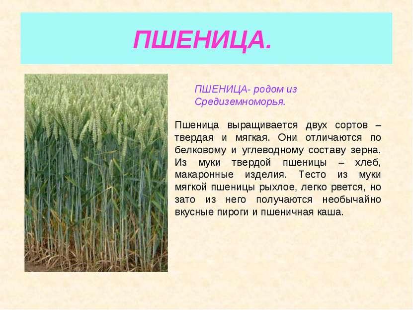 ПШЕНИЦА. ПШЕНИЦА- родом из Средиземноморья. Пшеница выращивается двух сортов ...