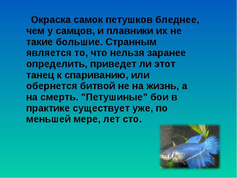 Окраска самок петушков бледнее, чем у самцов, и плавники их не такие большие....