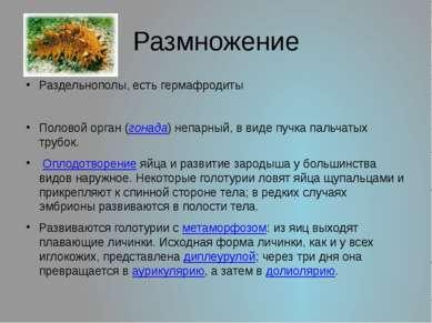 Размножение Раздельнополы, есть гермафродиты Половой орган (гонада) непарный,...