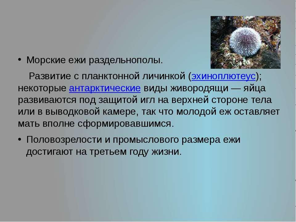 Морские ежи раздельнополы. Развитие с планктонной личинкой (эхиноплютеус); не...