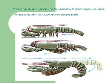 Речной рак может ползать по дну, плавать вперед с помощью ножек и плавать наз...