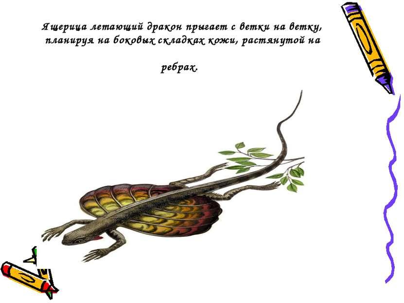 Ящерица летающий дракон прыгает светки на ветку, планируя на боковых складка...