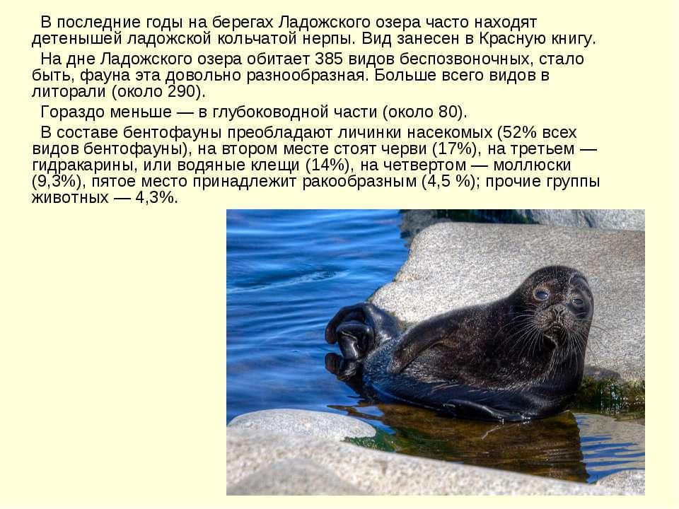 В последние годы на берегах Ладожского озера часто находят детенышей ладожско...