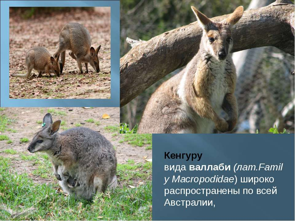 Кенгуру видаваллаби(лат.Family Macropodidae) широко распространены по всей ...