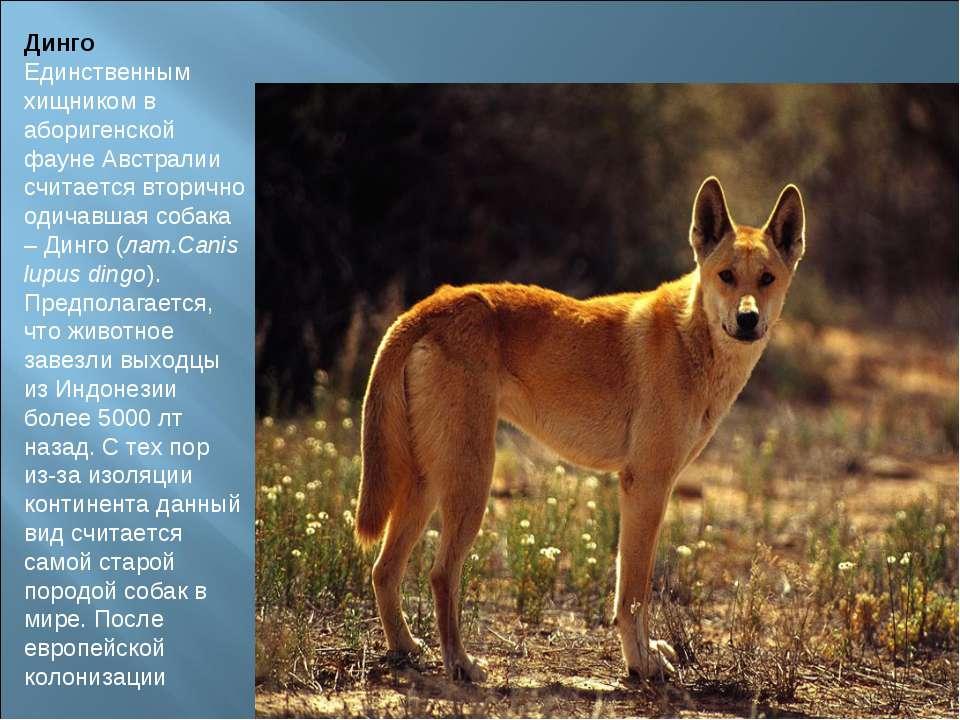 Динго Единственным хищником в аборигенской фауне Австралии считается вторично...