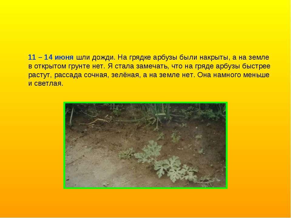 11 – 14 июня шли дожди. На грядке арбузы были накрыты, а на земле в открытом ...