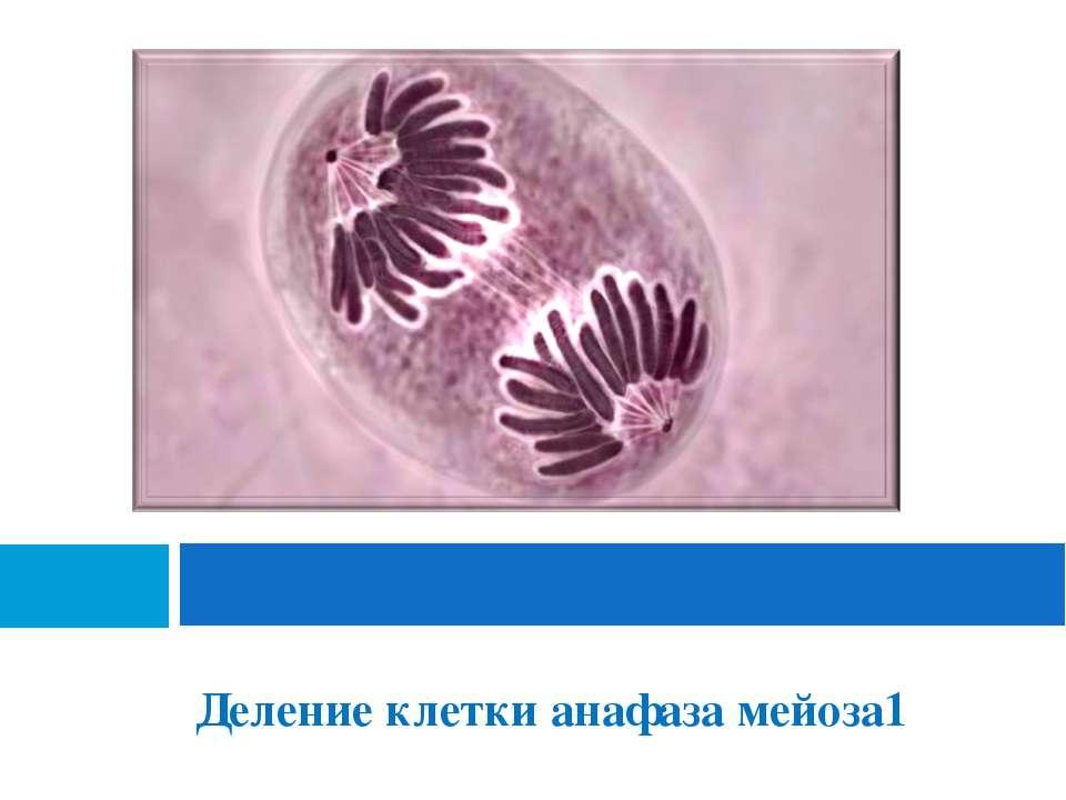 Деление клетки анафаза мейоза1