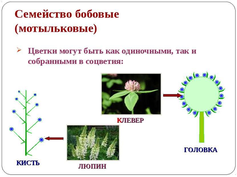 Семейство бобовые (мотыльковые) Цветки могут быть как одиночными, так и собра...