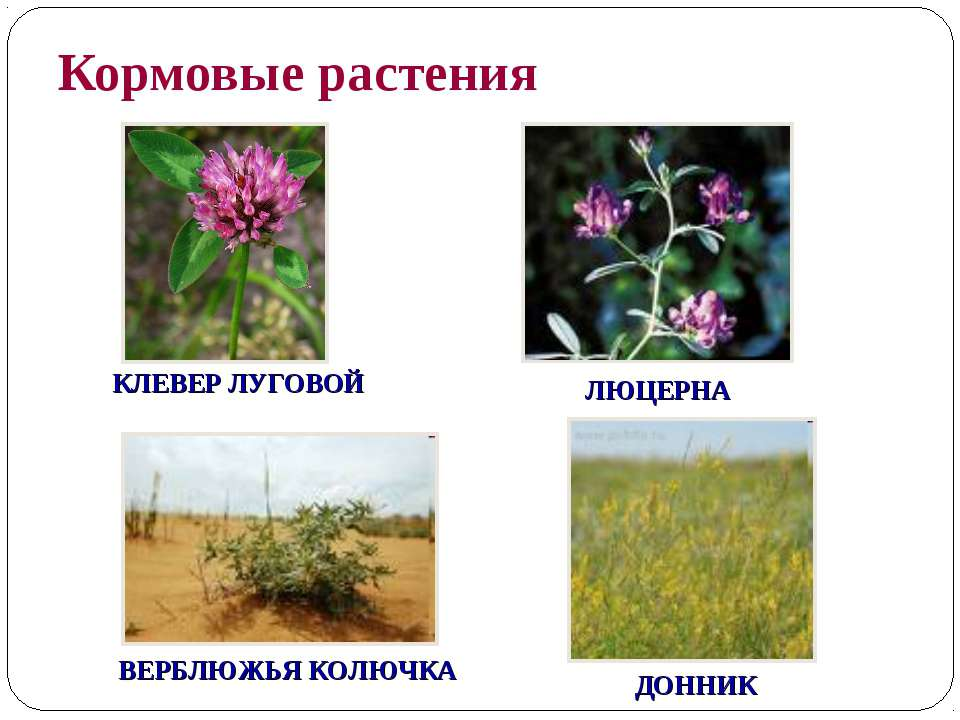 Кормовые растения ДОННИК ВЕРБЛЮЖЬЯ КОЛЮЧКА ЛЮЦЕРНА КЛЕВЕР ЛУГОВОЙ