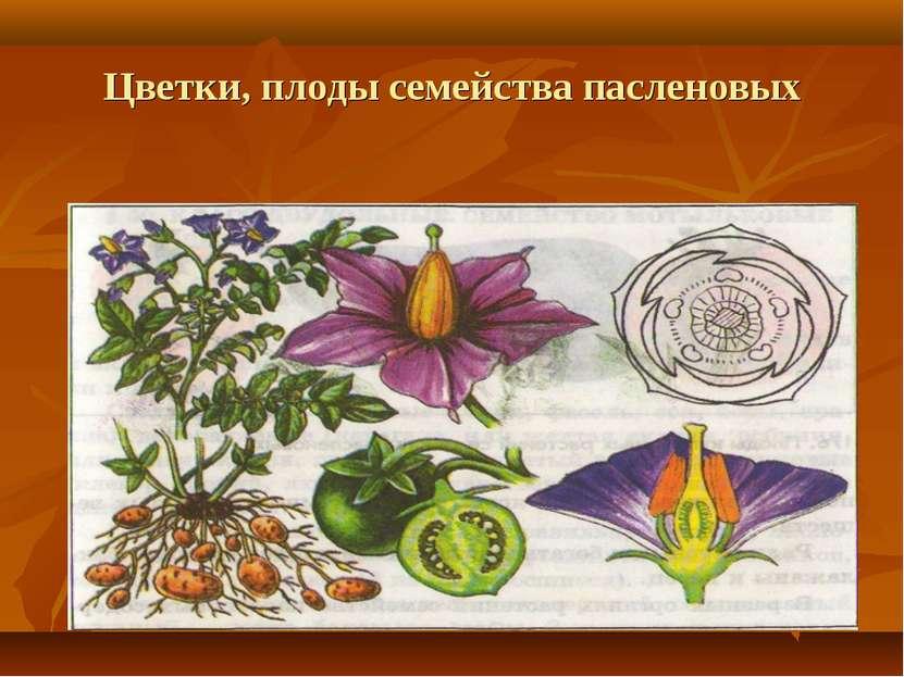 Цветки, плоды семейства пасленовых