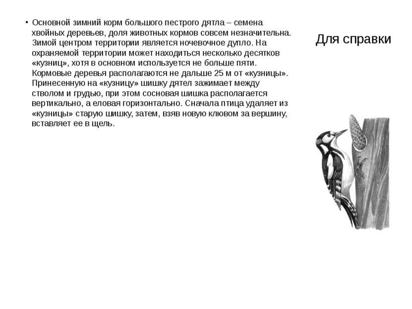 Для справки Основной зимний корм большого пестрого дятла – семена хвойных дер...