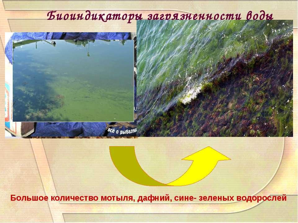 Биоиндикаторы загрязненности воды Большое количество мотыля, дафний, сине- зе...