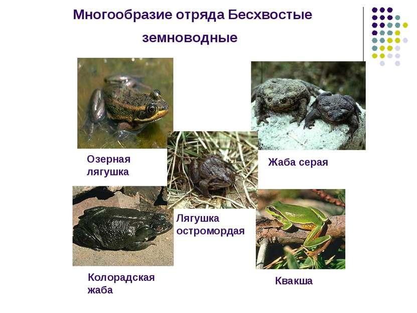 Многообразие отряда Бесхвостые земноводные Озерная лягушка Жаба серая Колорад...