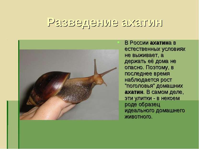 Разведение ахатин В России ахатина в естественных условиях не выживает, а дер...