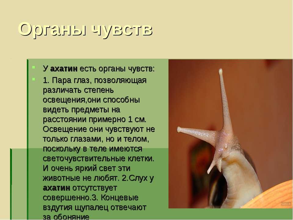 Органы чувств У ахатин есть органы чувств: 1. Пара глаз, позволяющая различат...