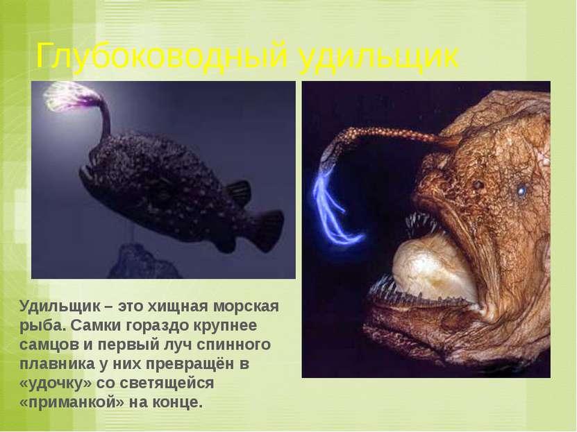 Глубоководный удильщик Удильщик – это хищная морская рыба. Самки гораздо круп...