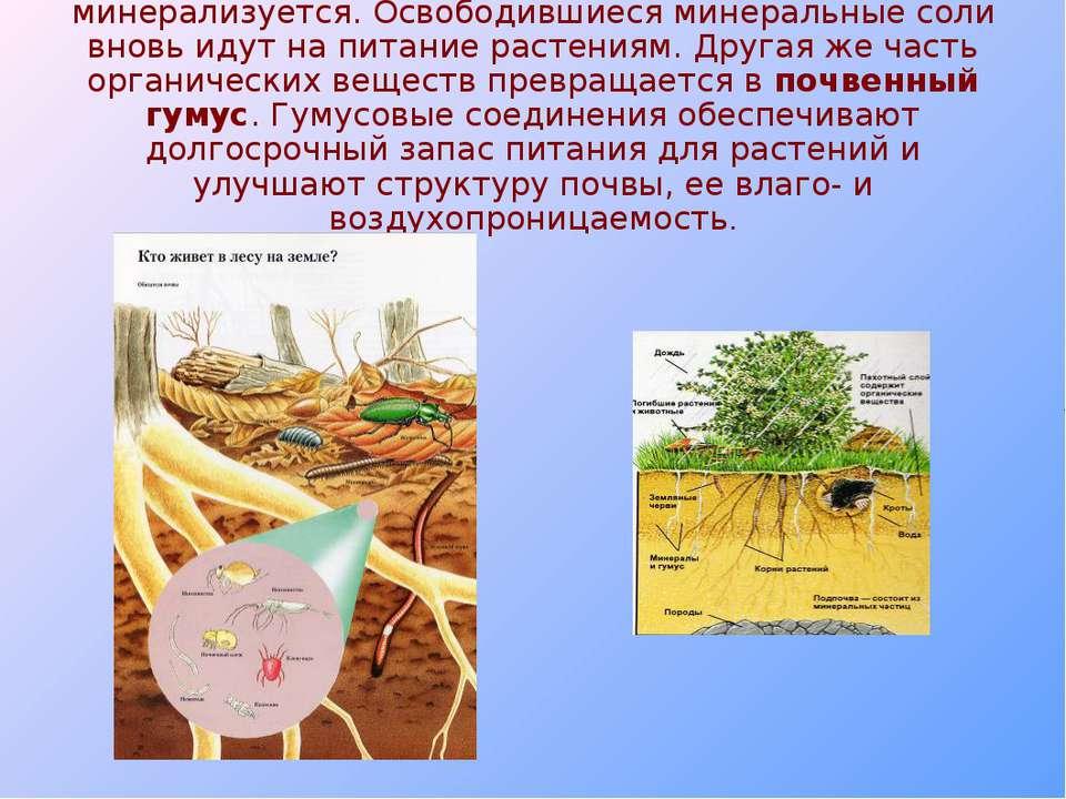 В результате часть растительного опада минерализуется. Освободившиеся минерал...
