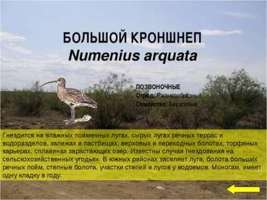 БОЛЬШОЙ КРОНШНЕП Numenius arquata Гнездится на влажных пойменных лугах, сырых...