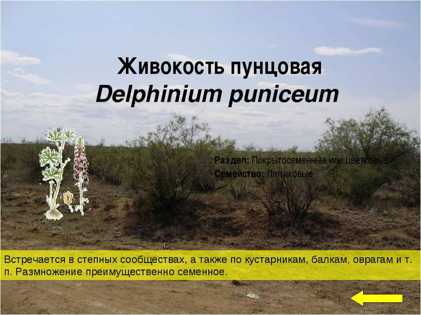 Живокость пунцовая Delphinium puniceum Встречается в степных сообществах, а т...
