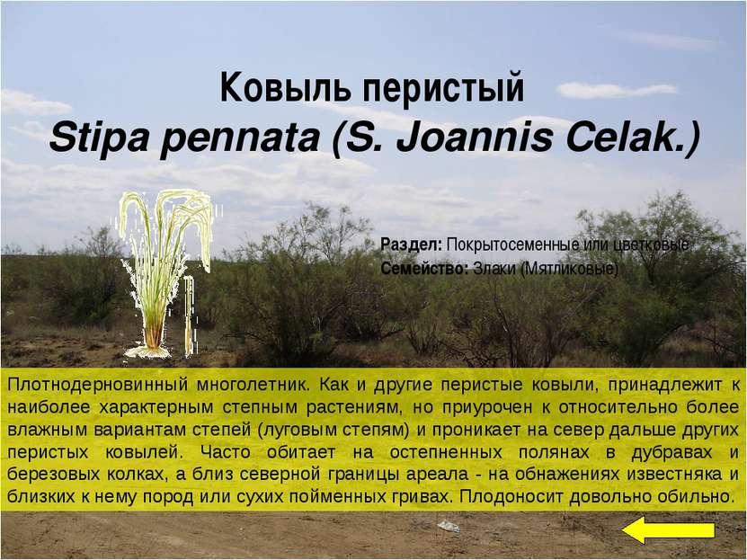 Ковыль перистый Stipa pennata (S. Joannis Celak.) Плотнодерновинный многолетн...
