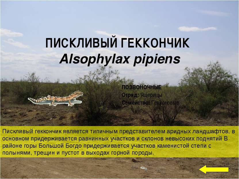 ПИСКЛИВЫЙ ГЕККОНЧИК Alsophylax pipiens Пискливый геккончик является типичным ...