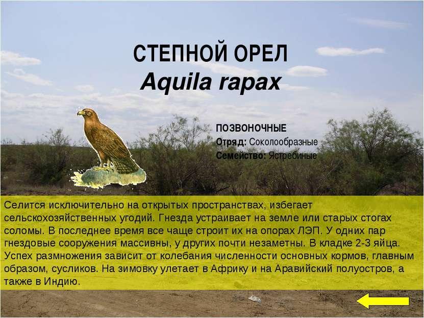 СТЕПНОЙ ОРЕЛ Aquila rapax Селится исключительно на открытых пространствах, из...