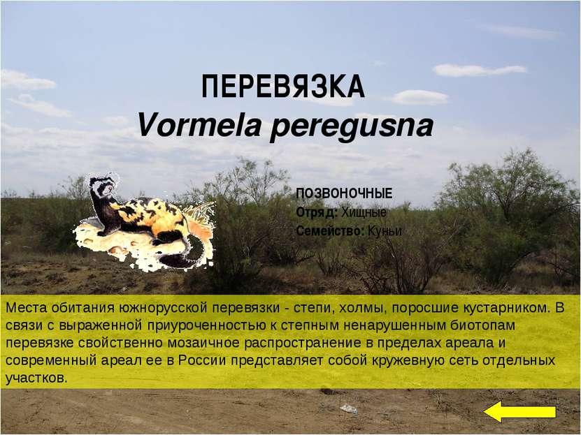 ПЕРЕВЯЗКА Vormela peregusna Места обитания южнорусской перевязки - степи, хол...