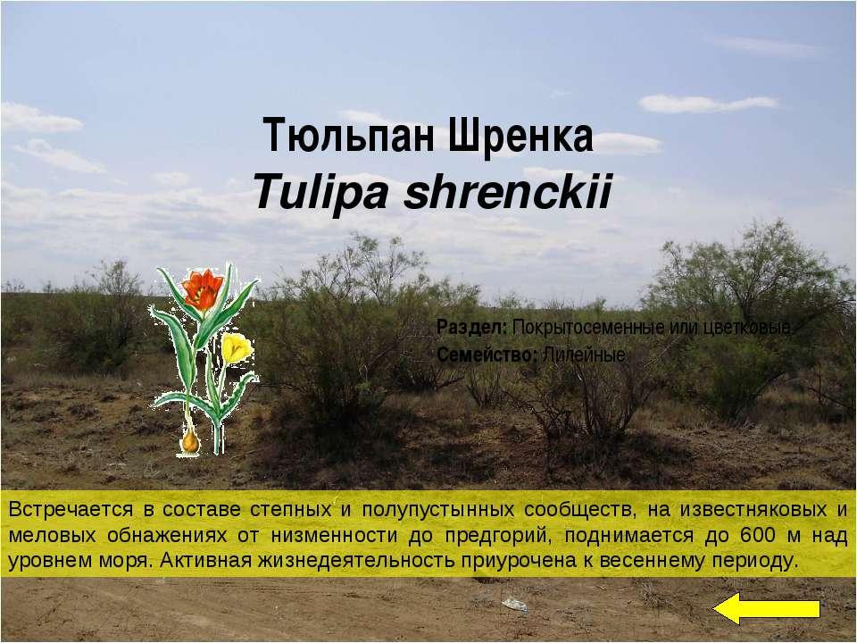 Тюльпан Шренка Tulipa shrenckii Встречается в составе степных и полупустынных...