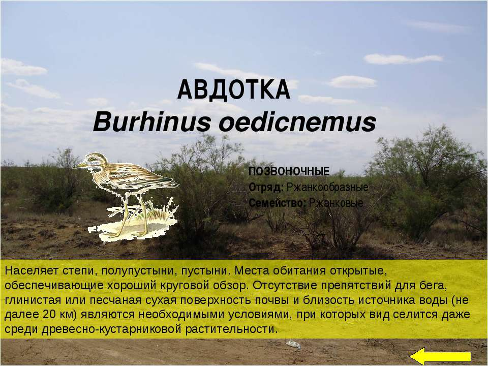 АВДОТКА Burhinus oedicnemus Населяет степи, полупустыни, пустыни. Места обита...