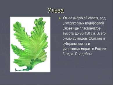 Ульва Ульва (морской салат), род улотриксовых водорослей. Слоевище пластинчат...