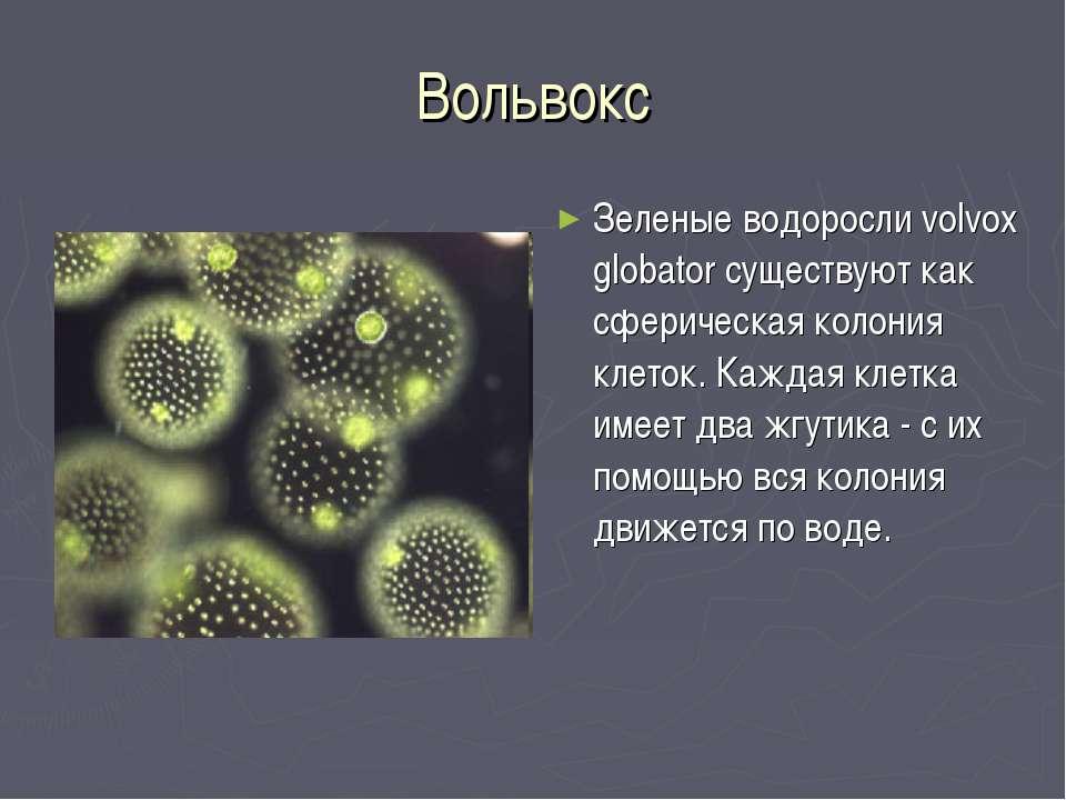 Вольвокс Зеленые водоросли volvox globator существуют как сферическая колония...