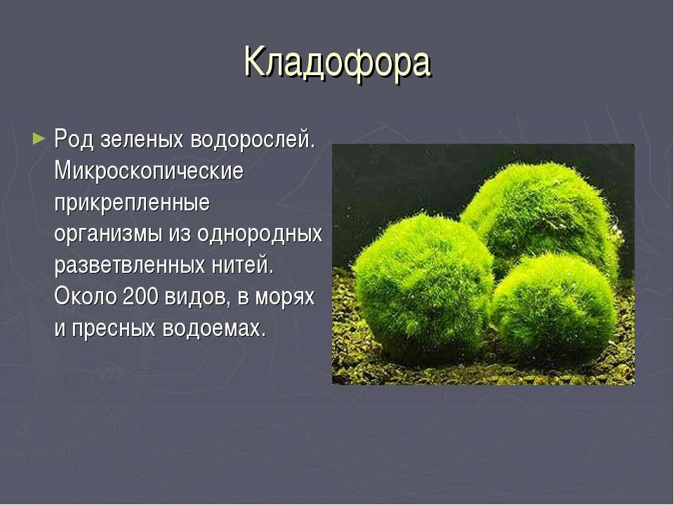 Кладофора Род зеленых водорослей. Микроскопические прикрепленные организмы из...