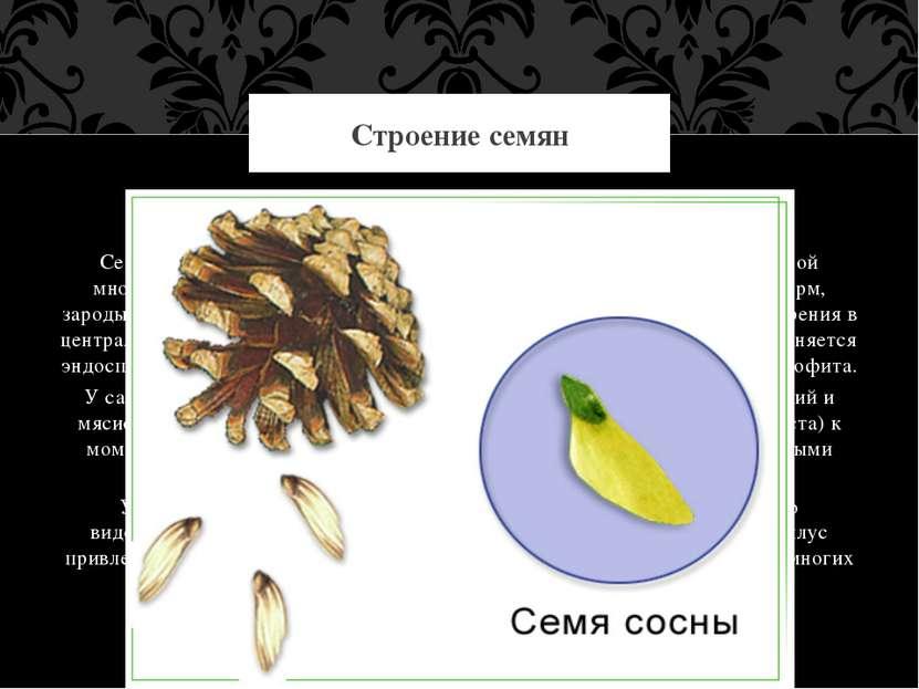 Семя развивается на поверхности семенной чешуи. Оно представляет собой многок...