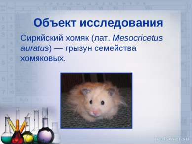 Объект исследования Сирийский хомяк (лат.Mesocricetus auratus)— грызун семе...