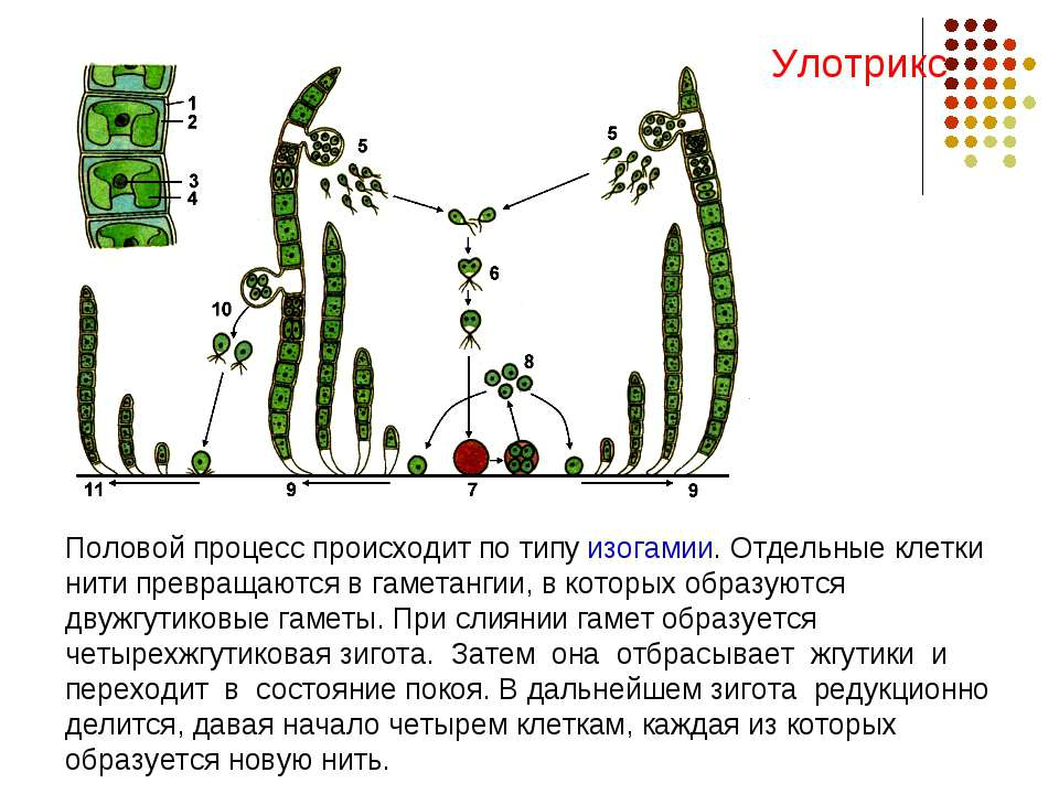 Половой процесс происходит по типу изогамии. Отдельные клетки нити превращают...