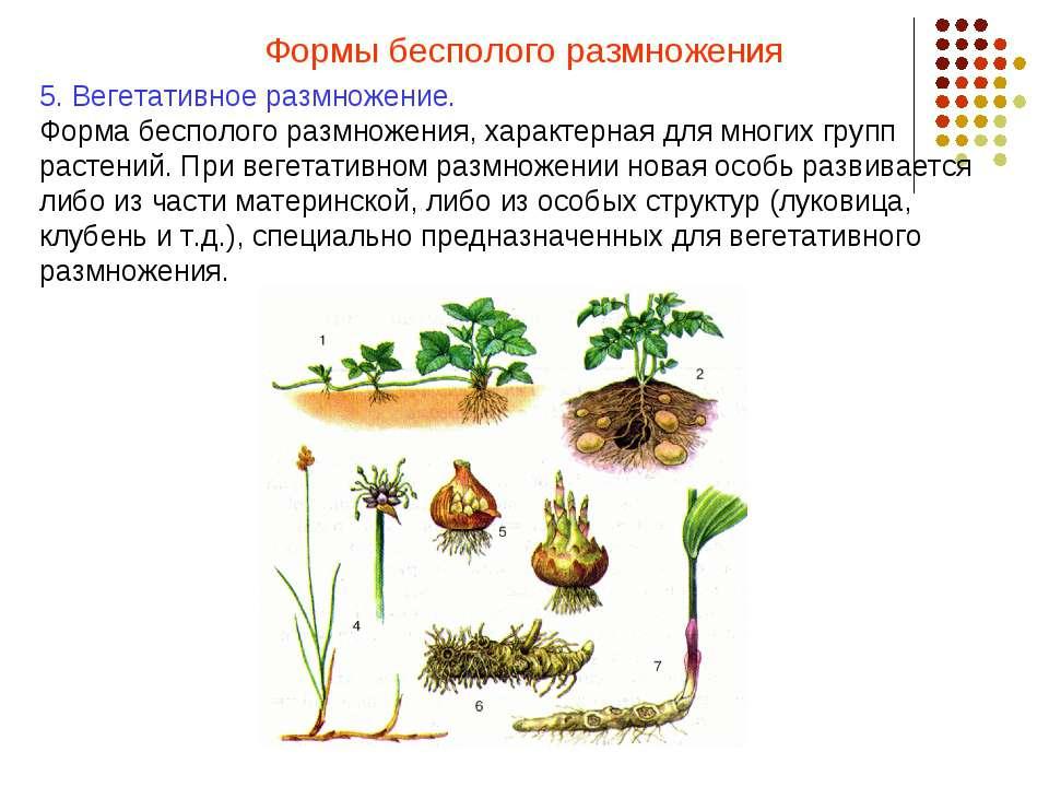 Формы бесполого размножения 5. Вегетативное размножение. Форма бесполого разм...