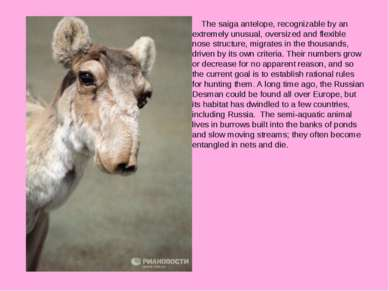 The saiga antelope, recognizable by an extremely unusual, oversized and flexi...