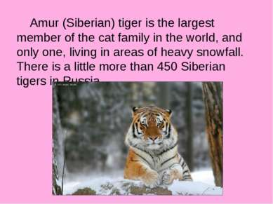Amur (Siberian) tiger is the largest member of the cat family in the world, a...