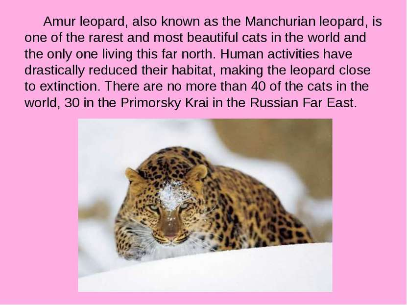 Amur leopard, also known as the Manchurian leopard, is one of the rarest and ...