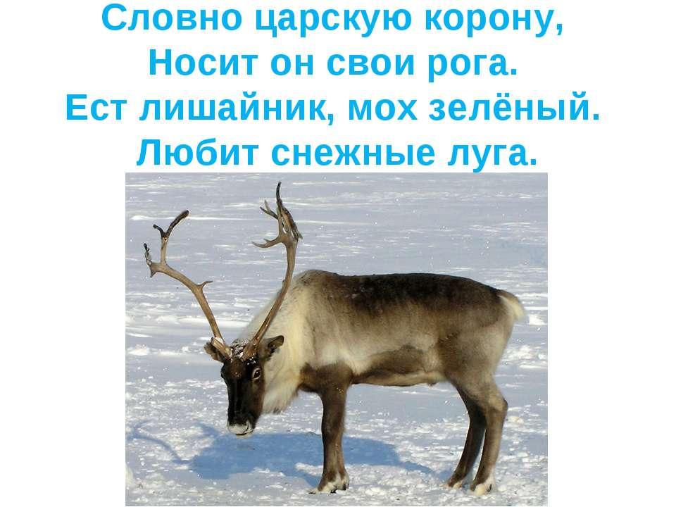 Словно царскую корону, Носит он свои рога. Ест лишайник, мох зелёный. Любит с...