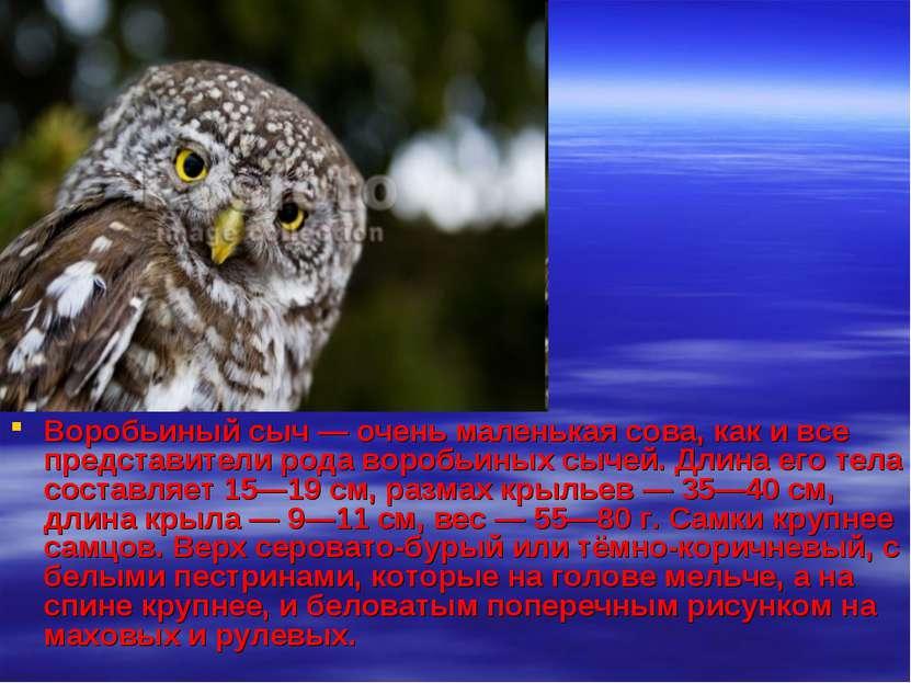 Воробьиный сыч — очень маленькая сова, как и все представители рода воробьины...