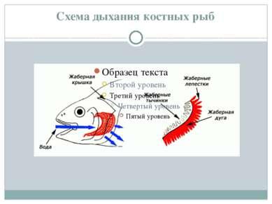Схема дыхания костных рыб