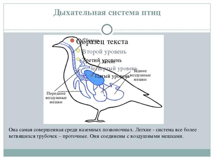 Дыхательная система птиц Она самая совершенная среди наземных позвоночных. Ле...