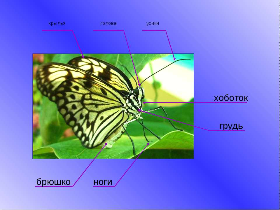 ноги усики голова крылья брюшко грудь хоботок