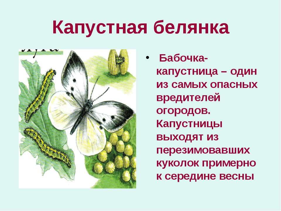 Капустная белянка Бабочка-капустница – один из самых опасных вредителей огоро...