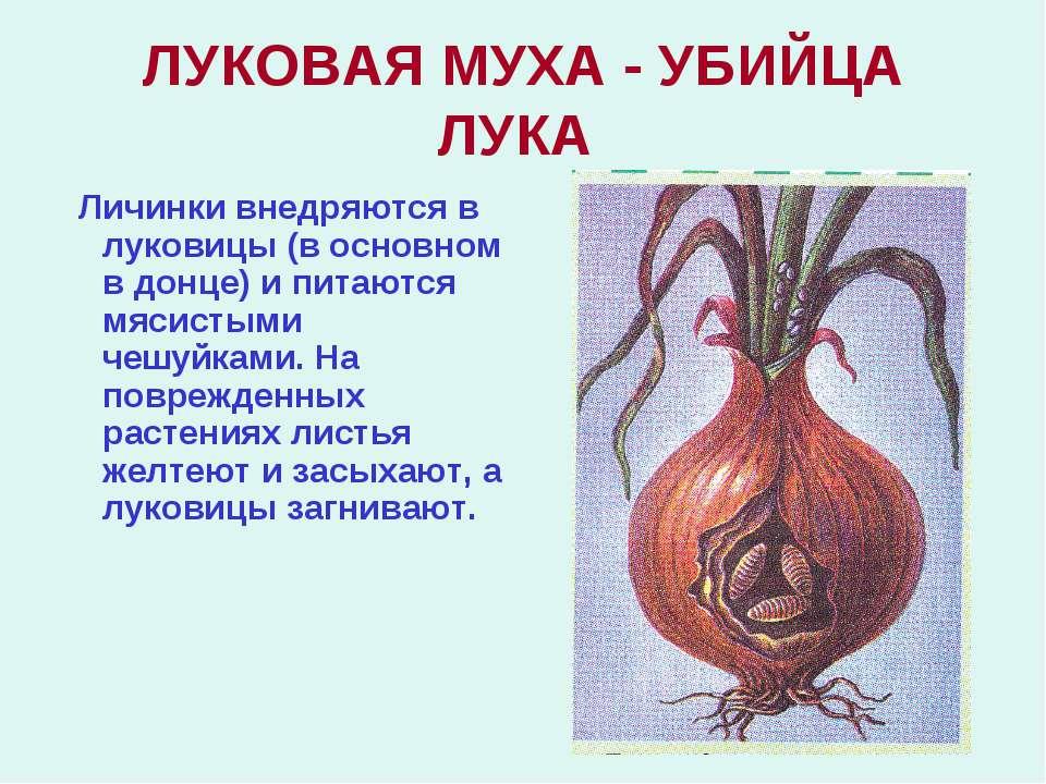 ЛУКОВАЯ МУХА - УБИЙЦА ЛУКА Личинки внедряются в луковицы (в основном в донце)...