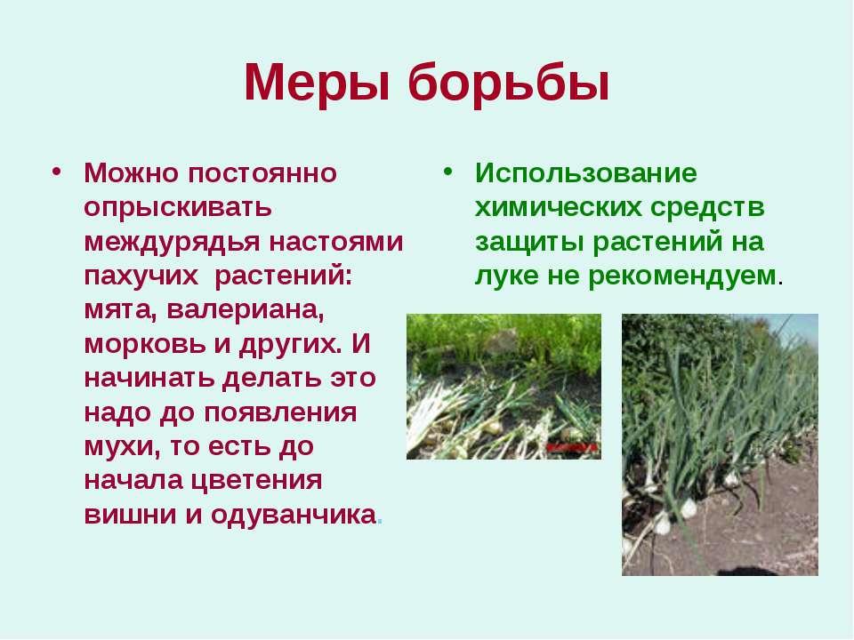 Меры борьбы Можно постоянно опрыскивать междурядья настоями пахучих растений:...
